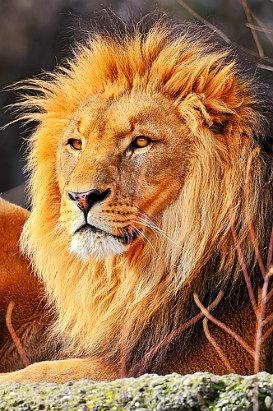 Saint Leo University Lions